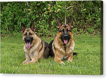 German Shepherds - Mother And Son Canvas Print by Sandy Keeton