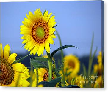 Getting To The Sun Canvas Print by Amanda Barcon