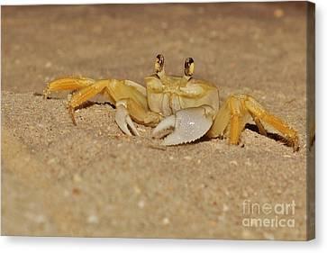 Ghost Crab Canvas Print by Lynda Dawson-Youngclaus
