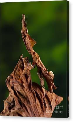 Ghost Or Dead Leaf Mantis Canvas Print by Francesco Tomasinelli