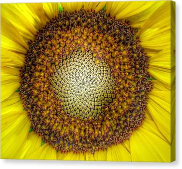 Ghost Sunflower Canvas Print by Marianna Mills