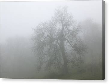 Ghostly Oak In Fog - Central California Canvas Print