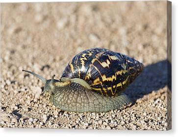 Giant African Land Snail Canvas Print by Science Photo Library