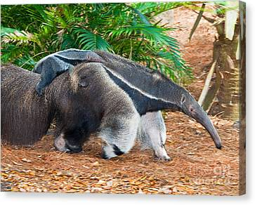 Toothless Canvas Print - Giant Anteater Mother And Baby by Millard H. Sharp