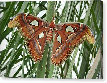 Giant Atlas Moth Canvas Print