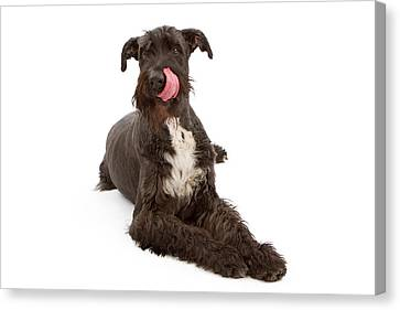 Giant Black Schnauzer Dog Licking Lips Canvas Print by Susan Schmitz