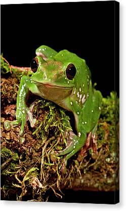 Giant Gliding Treefrog, Polypedates Sp Canvas Print by David Northcott