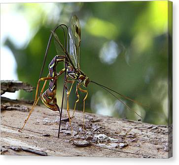 Giant Ichneumon Wasp Canvas Print