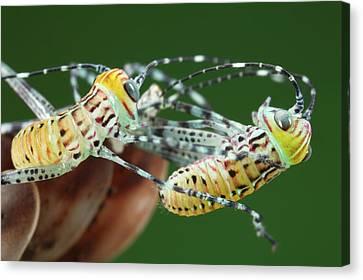 Katydid Canvas Print - Giant Katydid Hatchlings by Tomasz Litwin