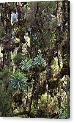 Giant Lobelia (lobelia Lanuriensis Canvas Print by Martin Zwick