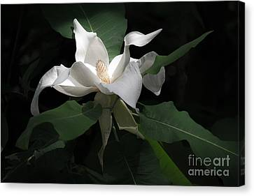 Giant Magnolia Canvas Print by Angela DeFrias