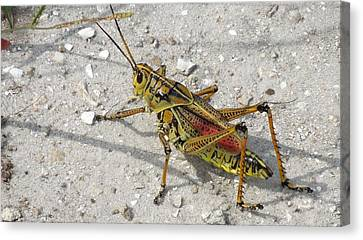 Canvas Print featuring the photograph Giant Orange Grasshopper by Ron Davidson