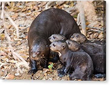 Giant Otter Pteronura Brasiliensis Canvas Print by Panoramic Images