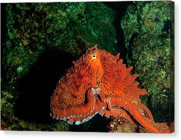 Giant Pacific Octopus (enteroctopus Canvas Print by James White