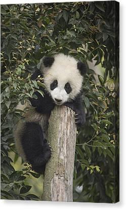 Giant Panda Cub Chengdu Sichuan China Canvas Print