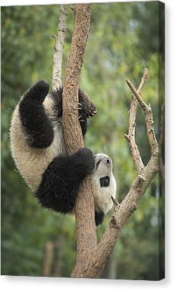 Giant Panda Cub In Tree Chengdu Sichuan Canvas Print by Katherine Feng