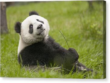 Giant Panda Cub Wolong National Nature Canvas Print