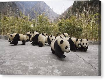 Giant Panda Cubs Wolong China Canvas Print by Katherine Feng