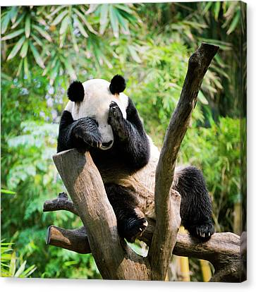 Giant Panda Canvas Print by Pan Xunbin
