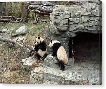Giant Pandas In Captivity Canvas Print by Science Photo Library