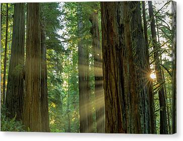 Giant Redwood Forest In Jedediah Smith Canvas Print
