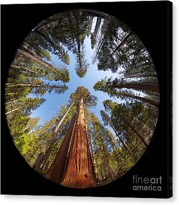 Giant Sequoia Fisheye Canvas Print by Jane Rix