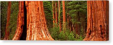 Giant Sequoia Trees In A Forest Canvas Print by Panoramic Images