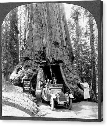 Giant Sequoia Canvas Print - Giant Sequoia 'wawona' Tree by Library Of Congress