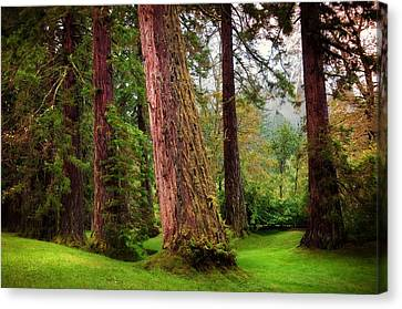Giant Sequoias. Benmore Botanical Garden. Scotland Canvas Print by Jenny Rainbow