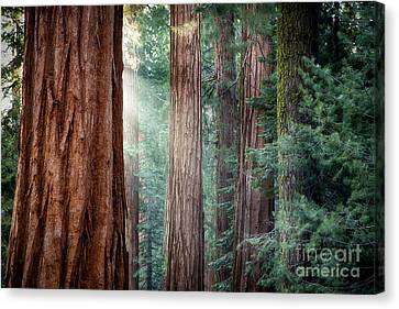 Giant Sequoias In Early Morning Light Canvas Print by Jane Rix