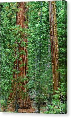 Giant Sequoias Sequoiadendron Gigantium Yosemite Np Ca Canvas Print by Dave Welling