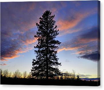 Giant Spruce Tree Sunset Canvas Print by Gene Cyr