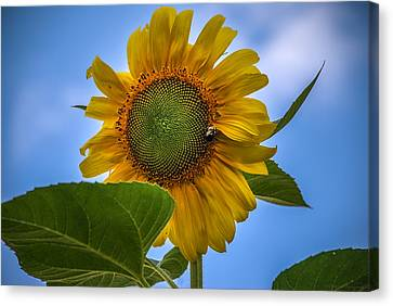 Canvas Print featuring the photograph Giant Sunflower by Phil Abrams