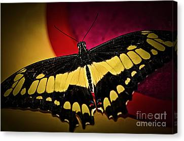 Giant Swallowtail Butterfly Canvas Print by Elena Elisseeva
