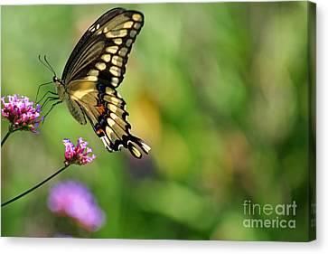 Giant Swallowtail Butterfly Canvas Print by Karen Adams