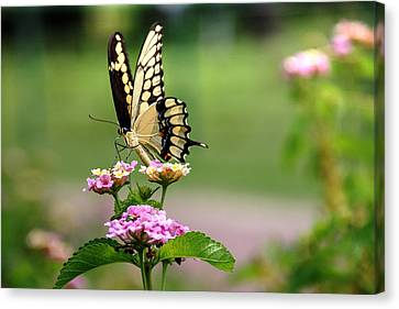 Giant Swallowtail Butterfly Canvas Print by Lorri Crossno