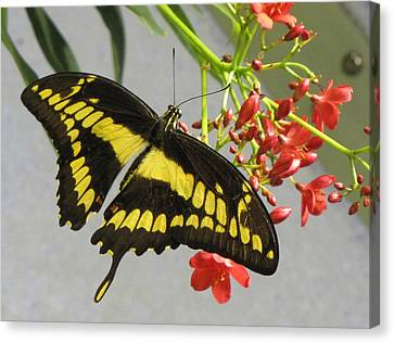 Canvas Print featuring the photograph Giant Swallowtail by Jennifer Wheatley Wolf