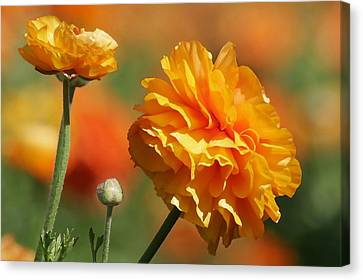 Giant Tecolote Ranunculus - Carlsbad Flower Fields Ca Canvas Print by Christine Till