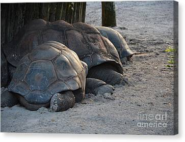 Canvas Print featuring the photograph Giant Tortise by Robert Meanor