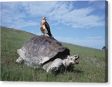 Giant Tortoise And Galapagos Hawk Canvas Print by Tui De Roy