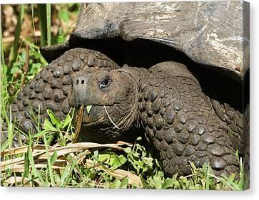 Giant Tortoise At El Rancho Manzanillo Canvas Print by Diane Johnson