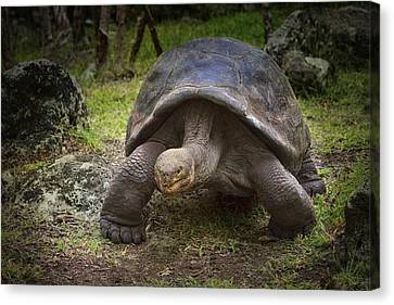 Giant Tortoise Canvas Print by Kim Andelkovic