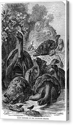 Giant Tortoises Of The Galapagos Islands Canvas Print by Universal History Archive/uig