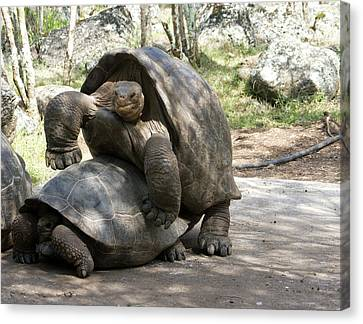 Giant Tortoises With Mating Behavior Canvas Print by Diane Johnson