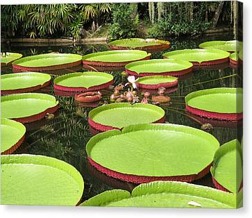 Giant Water Lily Platters Canvas Print by Zina Stromberg