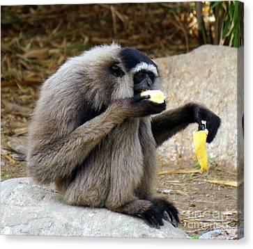 Gibbon Snack Canvas Print by Rachel Munoz Striggow