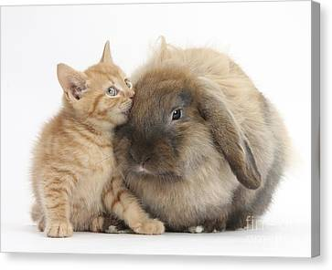 Ginger Kitten And Lionhead-lop Rabbit Canvas Print