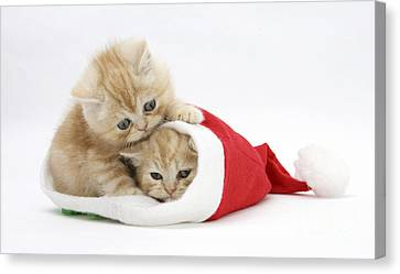 Ginger Kittens In Christmas Hat Canvas Print
