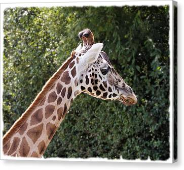 Canvas Print featuring the photograph Giraffe 01 by Paul Gulliver