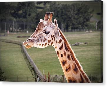 Canvas Print featuring the photograph Giraffe 02 by Paul Gulliver